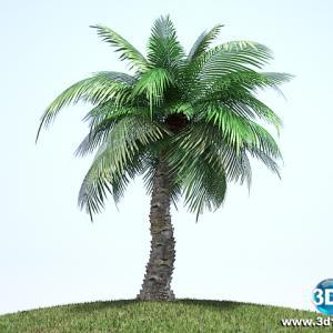 Palmeira Syagrus Coronata