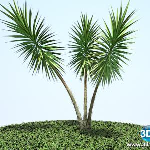 Iuca mansa Yucca filamentosa01