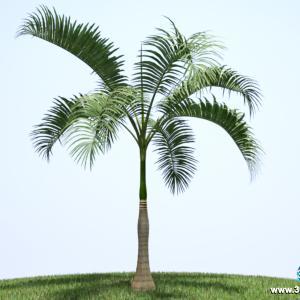 Palmeira Imperial Jovem