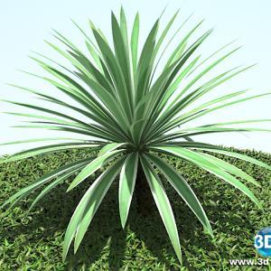 Agaveangustifolia
