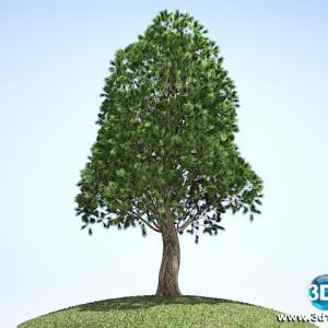 Pinheiro Pinus Elliottii02