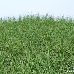 Liriope Verde