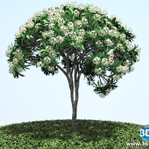 Jasmim Plumeria Branco