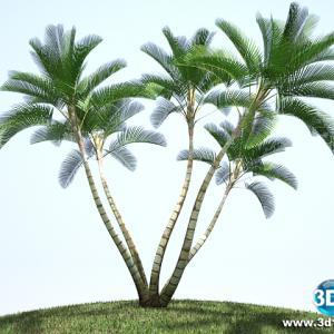 Palmeira Syagrus Cearensis