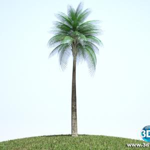 Palmeira Areca Locuba