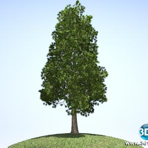 Pinheiro Pinus Elliottii01