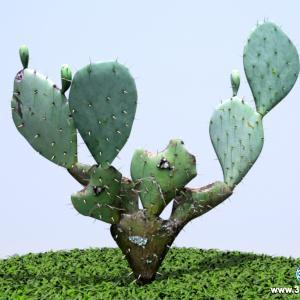 Cactus Orelha de  Coelho