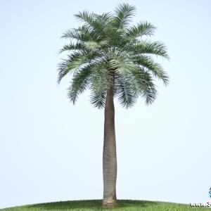 Palmeira Chilena