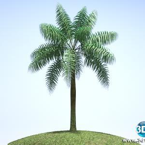 Palmeira Imperial Roystonea Oleracea