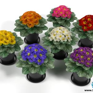 Mini Primulas