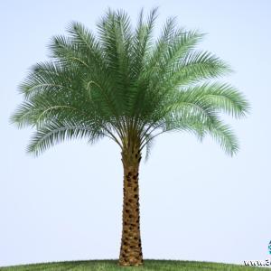 Palmeira Sylvester