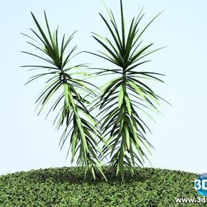 Iuca mansa Yucca filamentosa02