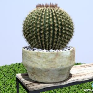 Cactus Bola de Ouro