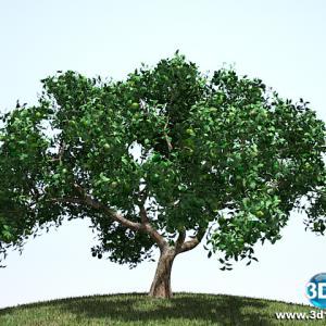 Limoeiro Citrus Limonium