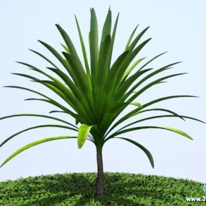 Dracena Arborea Adulta