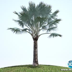 Palmeira Azul Bismarckia Nobilis