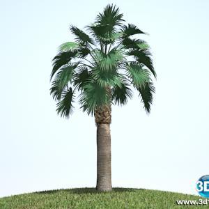 Palmeira Washingtonia